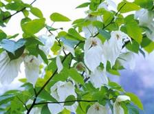 Chinese Dove Tree