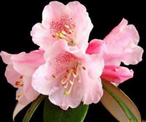Rhododendron tianmenshanense