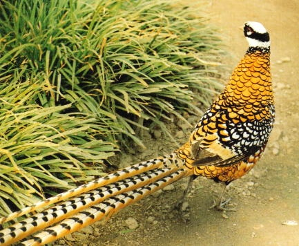 Zhangjiajie White Crown Long Tail Pheasants