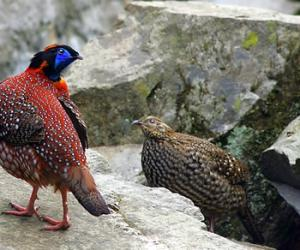Zhangjiajie Animals-Red Belly Pheasant