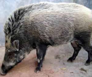 ZJJ Animals Wild Boar