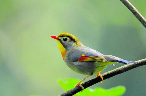 Zhangjiajie Red-billed Leiothrix