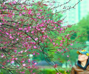 Red Plum Blossoms in Freezing Cold Weather in Changsha