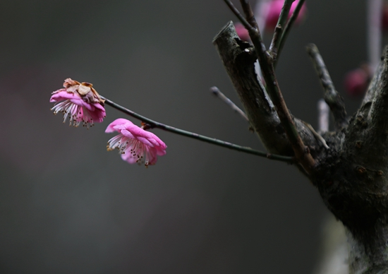 The plum blossoms of Huangshizhai Meiyuan greet the arrival of spring