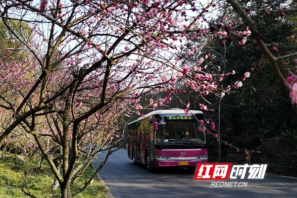 Zhangjiajie Huangshizhai Plum blossoms welcome guests to come