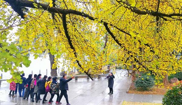 Ginkgo tree.jpg
